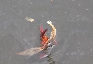 釣り いつから ザリガニ