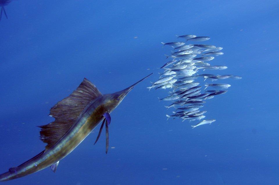 バショウカジキ 魚