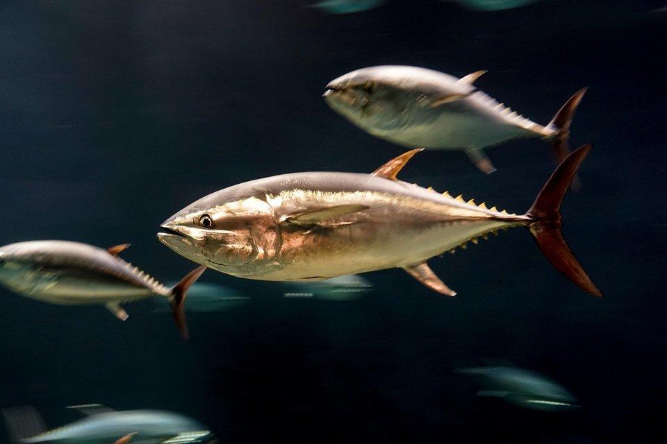 マグロ 魚