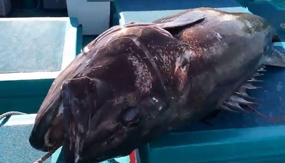 イシナギ 巨大魚 写真
