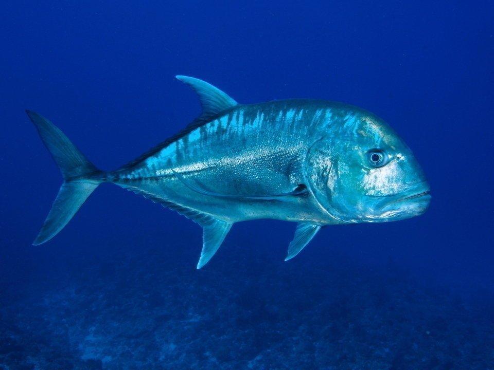 鳥も食べちゃう獰猛すぎる魚!通称GTと呼ばれるロウニンアジの迫力ある衝撃映像はこちら【動画】