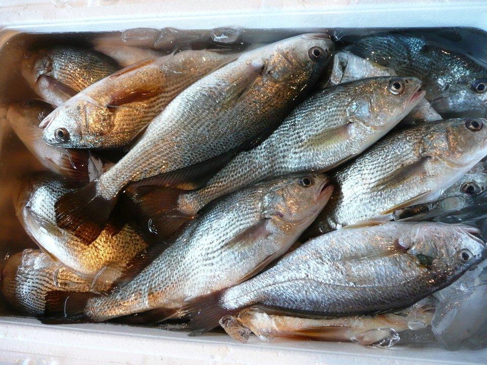 イシモチの臭みが気になる?そんな方にオススメの生寿司の作り方はこちら!釣った魚をおいしく料理しよう!