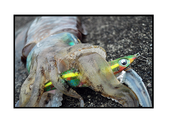春エギングを楽しむためのコツを伝授!産卵を控えた2kgクラスのアオリイカを釣るにはどうすればいいの?