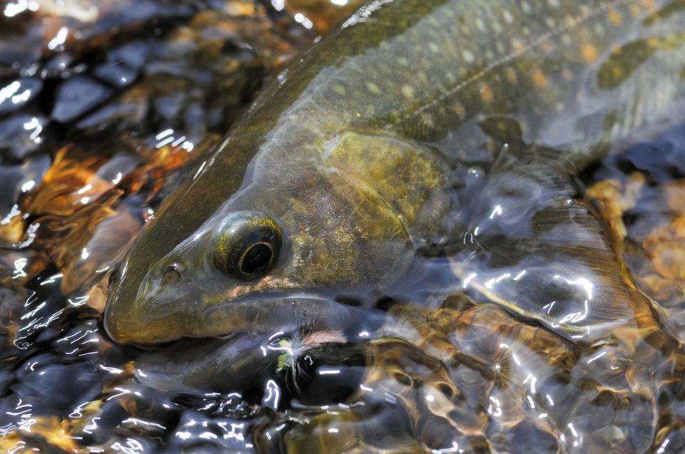 3月から解禁!渓流釣りで人気のイワナの種類や習性をチェック!イワナが滝の上に登れる理由はこれだった!