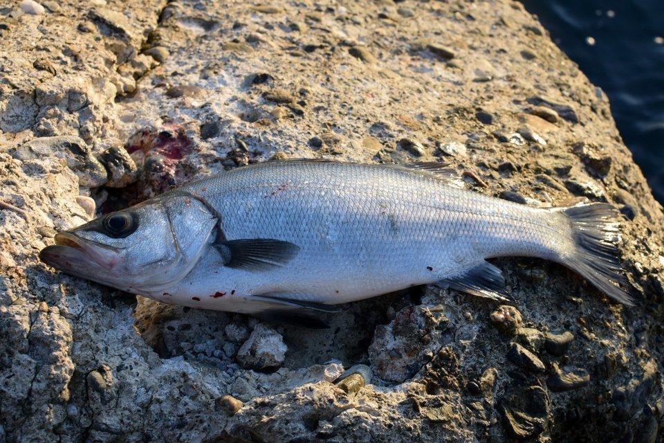 ヒラスズキ スズキ シーバス 魚 写真