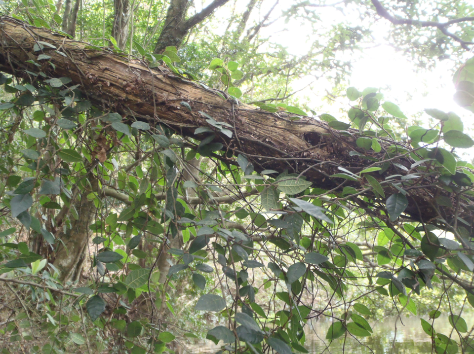 木 ツル 葉 写真