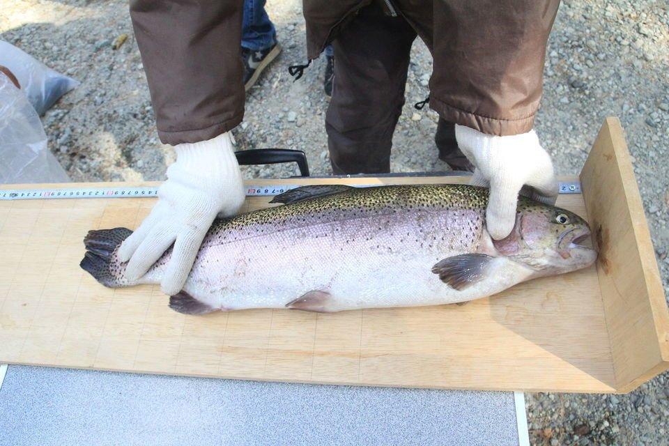 魚 測定 長さ 写真