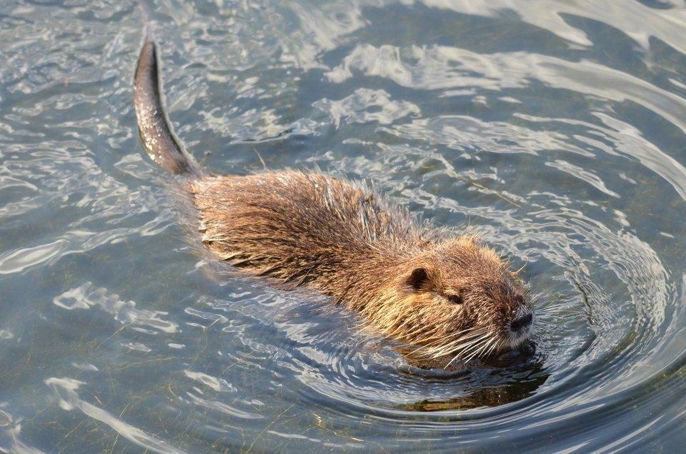 ヌートリアって見たことある?日本の水辺に生息する特定外来種