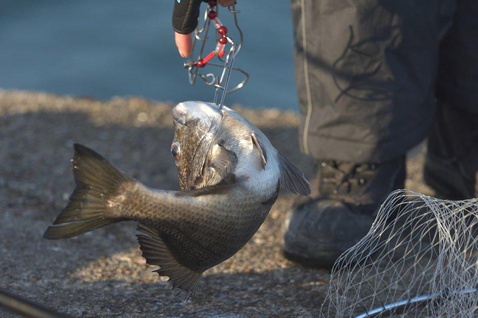 クロダイ 釣り 写真