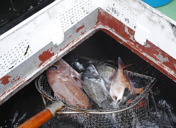 イケス 魚 写真