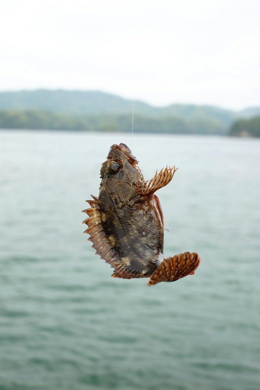 釣り 魚 アラカブ カサゴ
