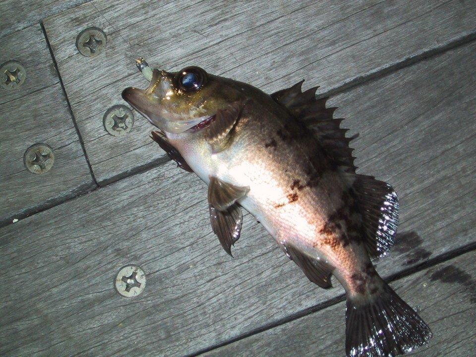ゴンズイ 夜 写真 魚 サビキ