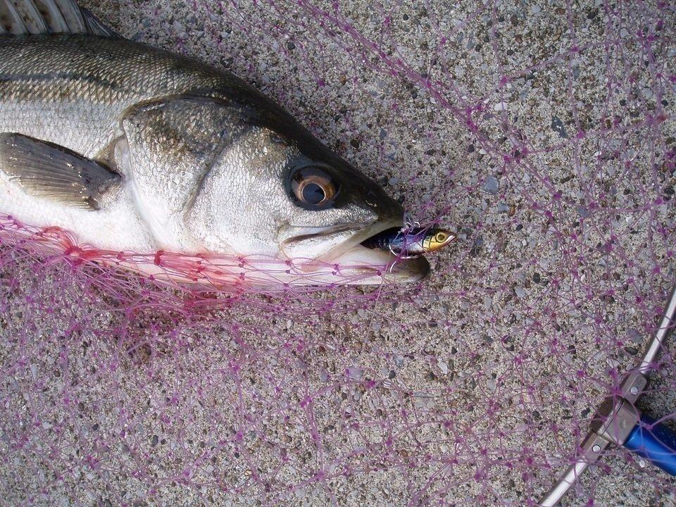 シーバスのシーズン別攻略法!春夏秋冬一番釣れる時期はいつ?