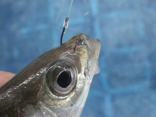 アジ 釣り針 泳がせ釣り