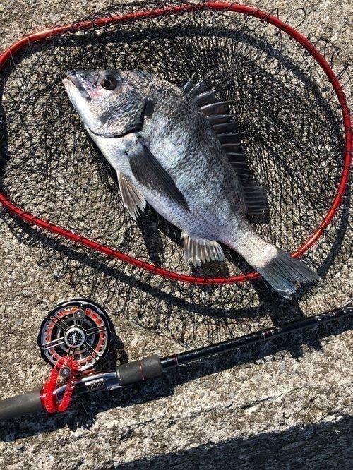 タモ クロダイ 釣り竿 写真