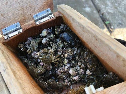 イワガニ フジツボ 餌箱 写真