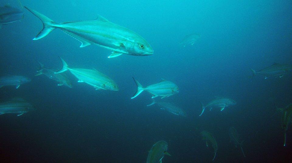 ヒラマサ 海中