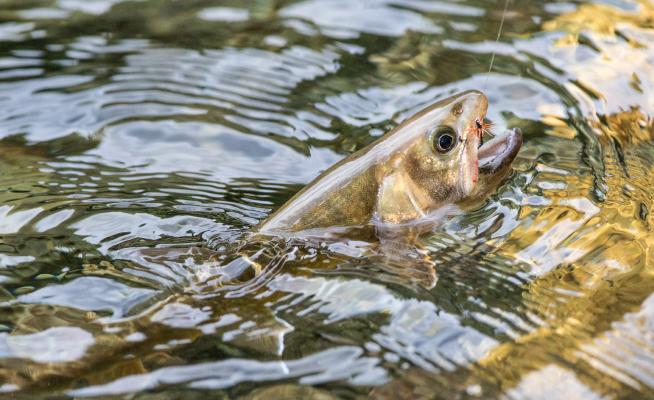 テンカラ釣りを始めたい!初心者におすすめの竿・毛鉤はどれかチェックしてみよう