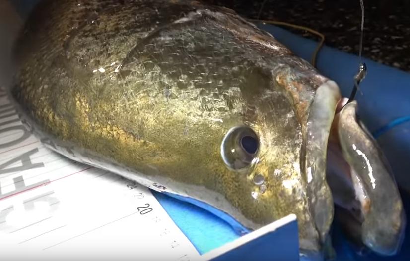 幻の巨大魚であるアカメのアップ写真