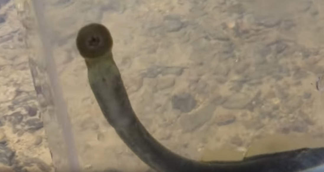 ヤツメウナギの口の写真