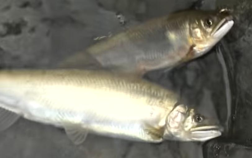 友釣りで釣れた鮎のアップ写真