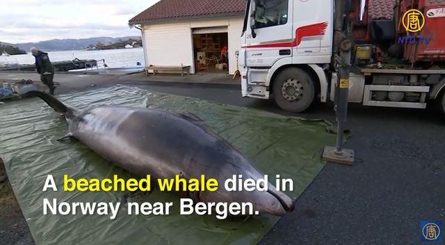 釣り人として真剣に考えたい!ノルウェーで亡くなったクジラのお腹から約30個のビニール袋が発見される。