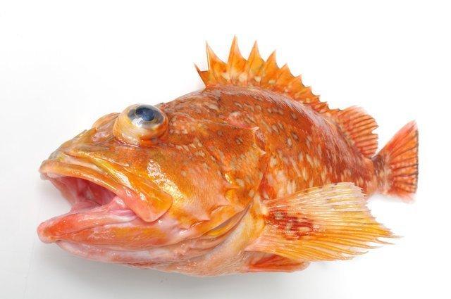 刺し方一つで釣果アップ!?カサゴなどの根魚を誘惑するエサの刺し方って?