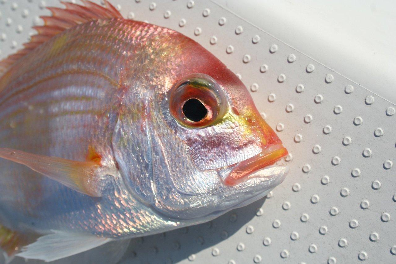 釣り上げられたレンコダイの写真