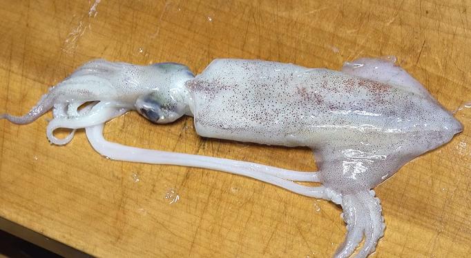 ケンサキイカを釣って食べたい!船釣りの仕掛けや締め方動画を徹底チェック