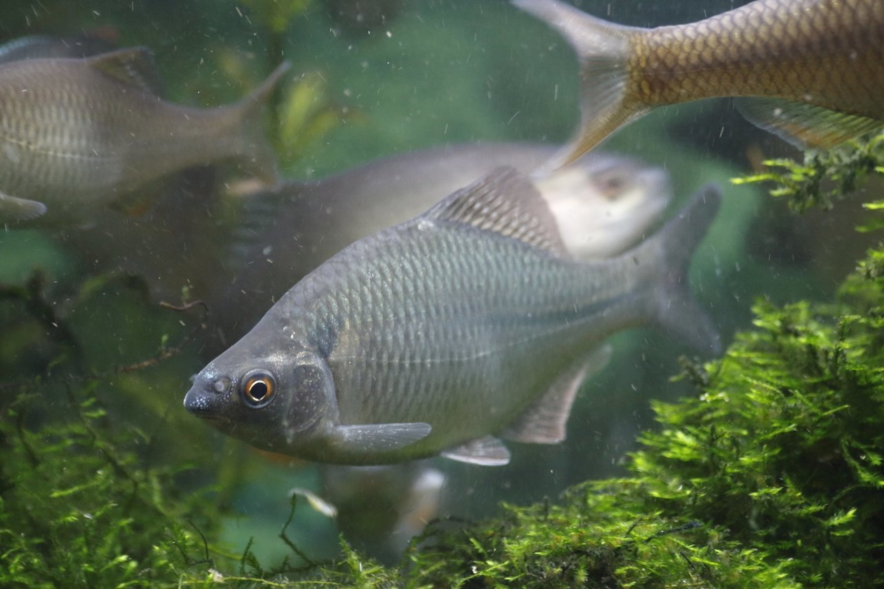 カネヒラ(魚)の写真