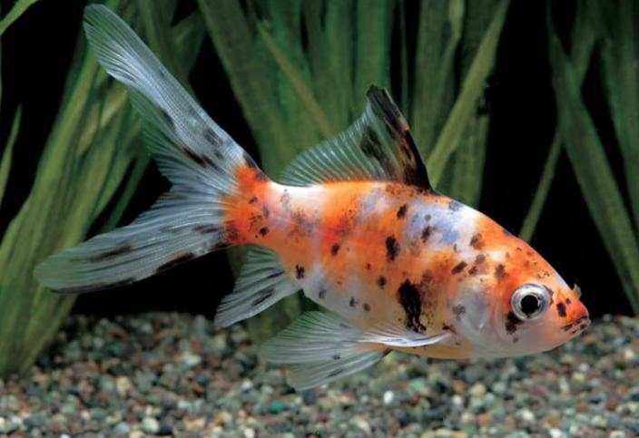 金魚のアップ写真