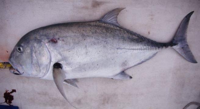 ガーラってどんな魚なの?特徴や生態・釣り方・食べ方をピックアップ