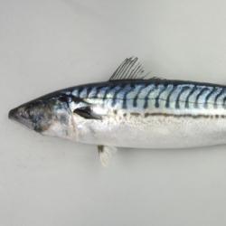 タイセイヨウサバ (ノルウェーサバ)   市場魚貝類図鑑